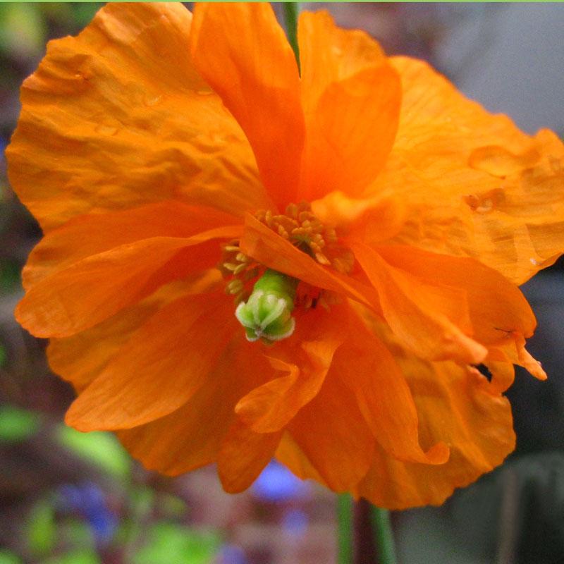 продажа семян сортового мака скалоломный оранжевые перье papaver rupifragum orange feather seeds коллекция мака в питомнике цветов