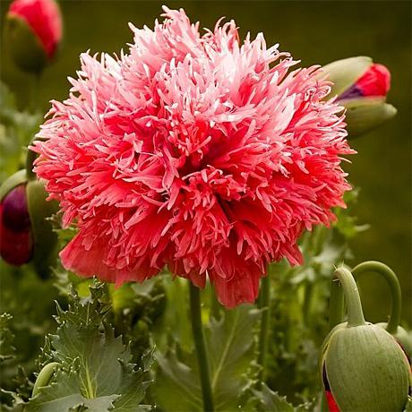 купить семена мака papaver scarlet oase seeds семена мака в лучшем интернет магазине в Москве