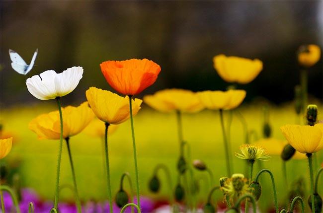 семена мака декоративного огромный выбор сортов papaver seeds растения для дачи и сада в магазине номер 1 Сидландия