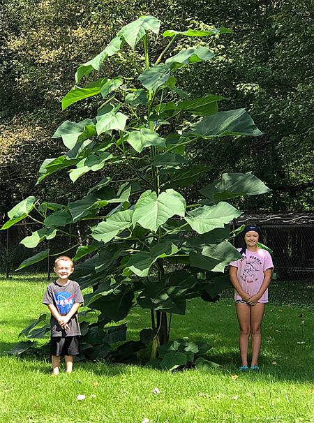 продажа семян павловнии удлиненной paulownia elongata seeds все сорта павловнии самое быстрорастущее дерево в мире