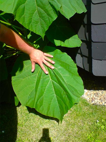 семена павловнии войлочной paulownia tomentosa seeds распродажа семян быстрое озеленение парков