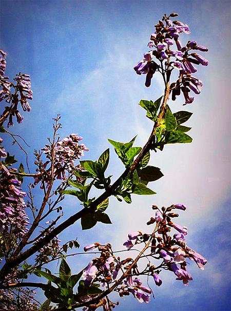 продам семена и саженцы павловния войлочная paulownia tomentosa seedling инвестиции в озеленение купить саженец павловнии в Москве целый год
