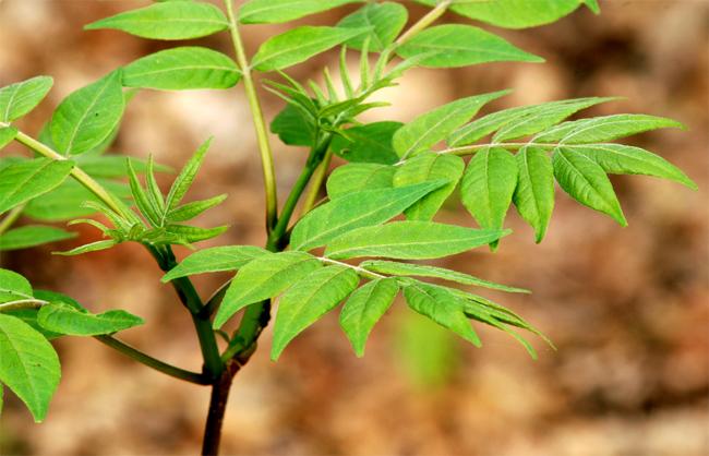 купить семена бархат амурский phellodendron seedling продажа саженцев