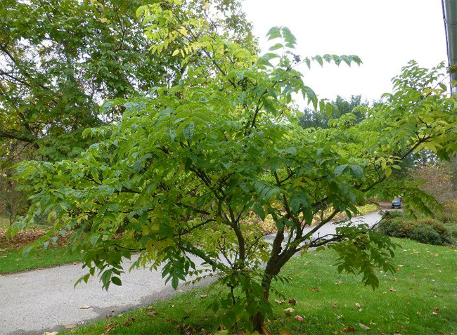 семена и саженцы бархат амурский phellodendron seedling and seeds продажа саженцев