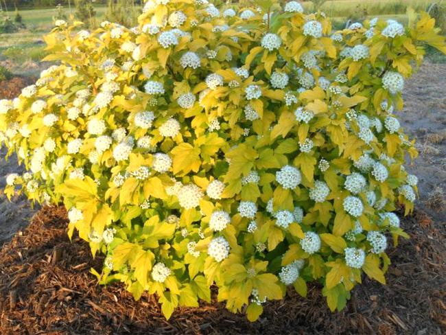 продажа семян пузыреплодника калинолистного дартс голд physocarpus opulifolius Dart's Gold в москве пересылка почтой