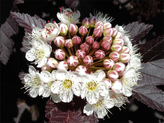 купить семена пузыреплодника physocarpus opulifolius в магазине Сидландия