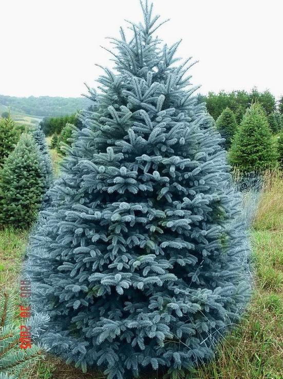 элитные голубые ели семена красивейших елей колорадо colorado blue spruce саженцы елей голубых