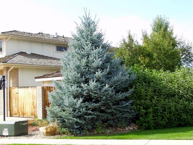 продажа семян ели голубой колорадо colorado blue spruce огромный ассортимент саженцев ели голубой