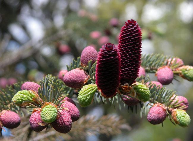 семена ель голубая лицзянская linzhiensis sprice seeds продажа саженцев