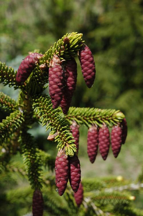семена ели восточной oriental spruce каталог семян елей хвойников 2000 позиций