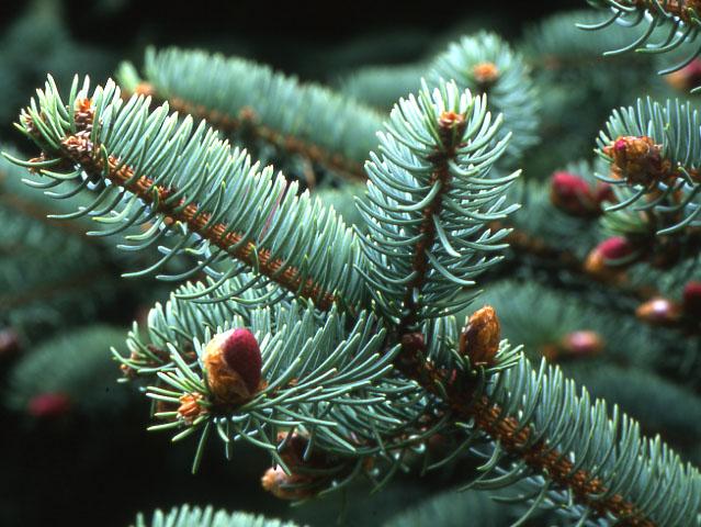 семена ели толстолистной classifolia spruce seeds купить продать