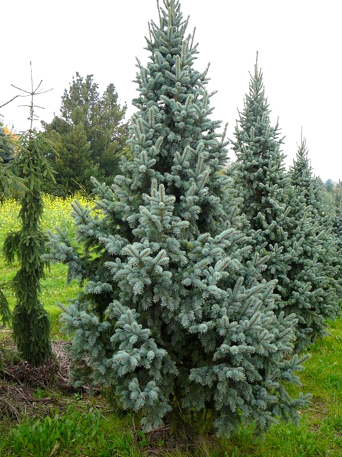 купить семена ель голубая отогнутая ретрофлекса spruce retroflexa