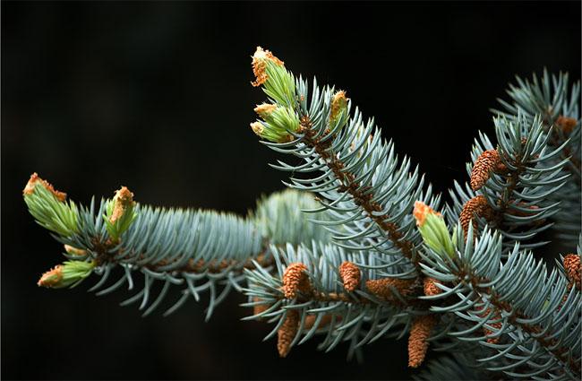 семена голубой Шренка schrenkiana spruce seeds саженцы