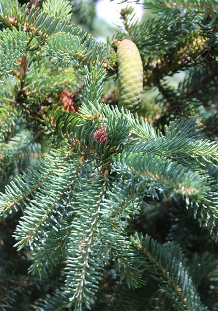 семена ели толстоиглая qinghai spruce seeds саженцы елей в питомнике москве