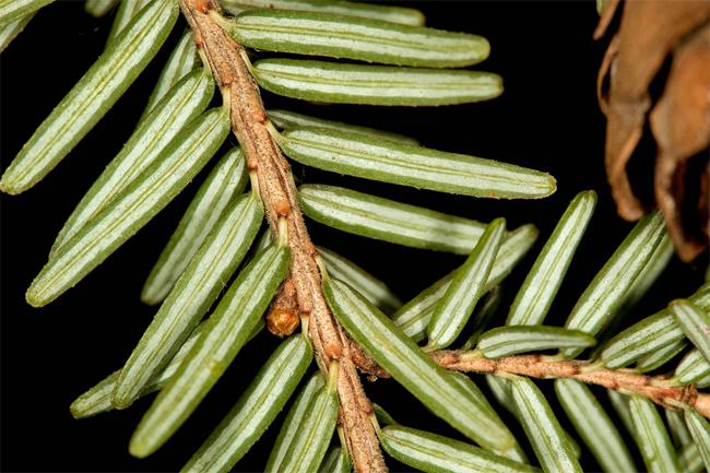 распродажа семян тсуги канадской tsuga canadensis seeds в питомнике семян декоративных растений