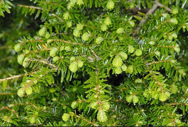 прдам семена тсуги китайской tsuga chinensis seeds саженцы тсуги в питомнике декоративных растений