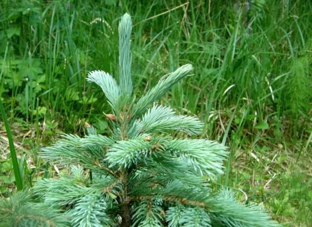 качественные саженцы ели голубой дешево wilson spruce питомниу растений в москве аптекарский огород