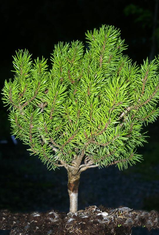 семена деревьев pinus banksiana pine сосна бэнкса семена сосны цена seedling саженцы в продаже