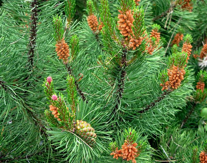 Сосна скрученная Муррея contorta murrayana pine семена только у нас можно купить