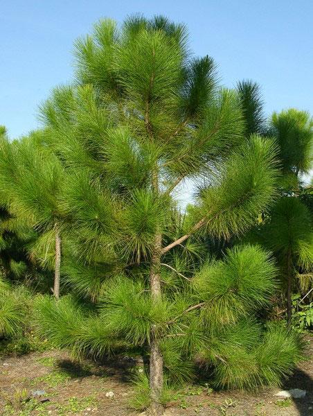 семена сосны афганской afghan pine seeds цена