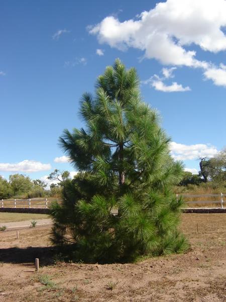 семена сосны роксбурга chir pine seeds
