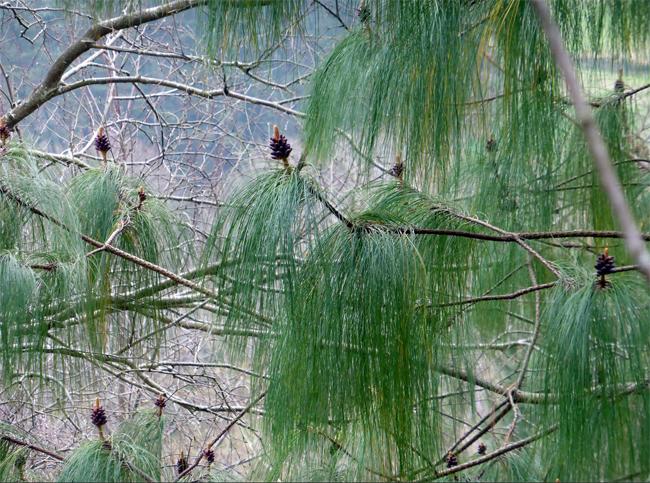 семена сосны девониана pinus michoacana seeds семена редких хвойных растений