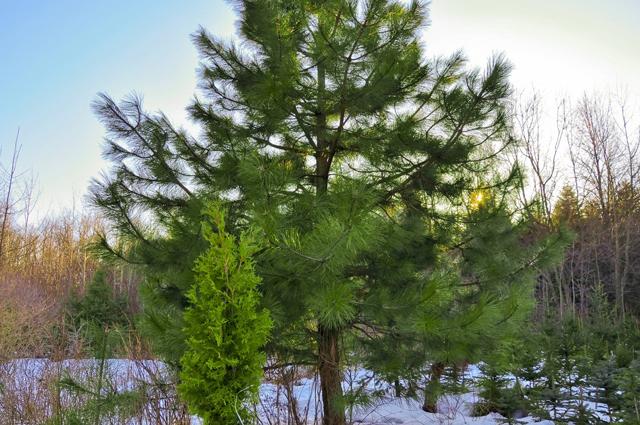 купить семена сосны ламберта lambertii seeds pine
