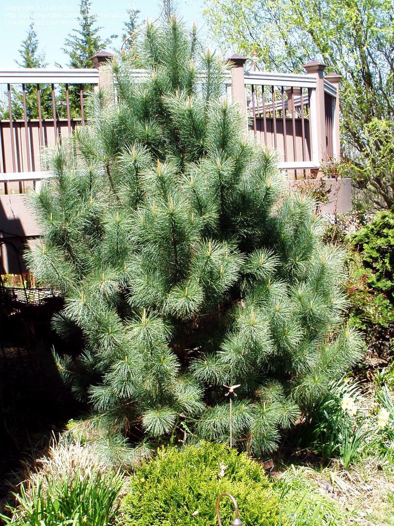 семена сосны мексиканской strobiformis pine seeds sale