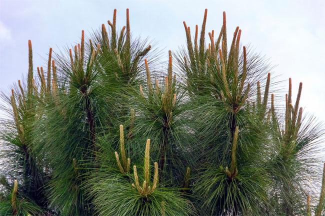 семена сосна валлиха bhutan pine seeds
