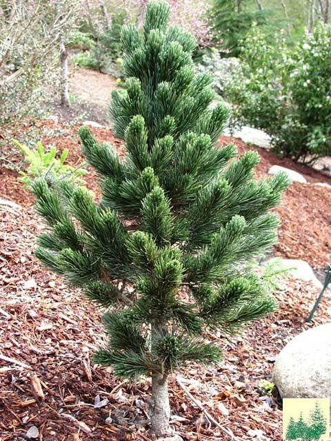семена сосны остистой aristata pine саженцы
