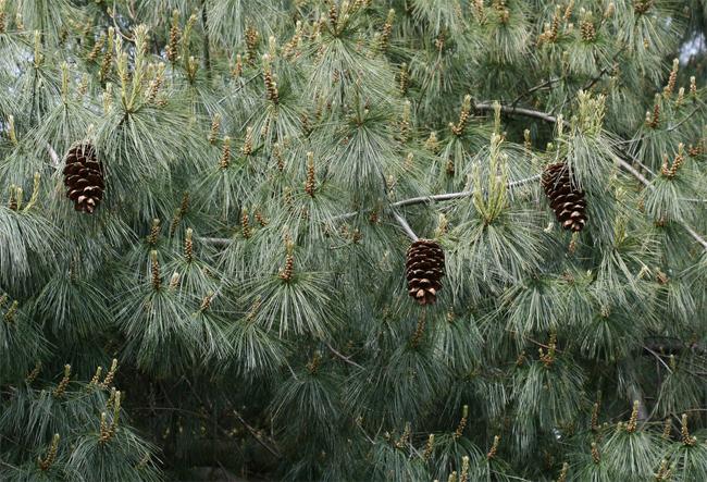 купить семена сосны арманда armandii seeds chinense white pine