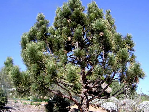 продам семена в москве сосны культера coulteri pine seeds