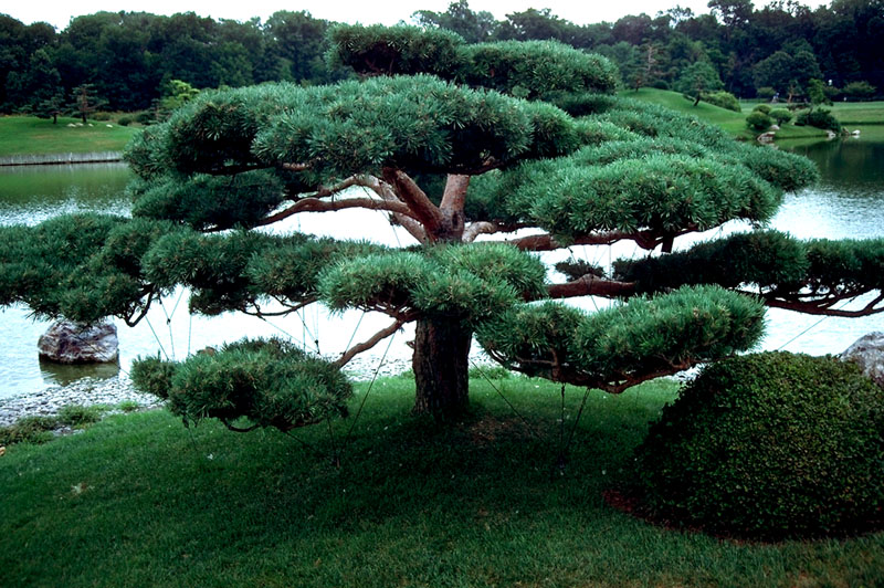 купить семена сосны густоцветной densiflora seeds pine