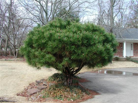 продаю семена сосны густоцветной densiflora seeds pine купить саженцы