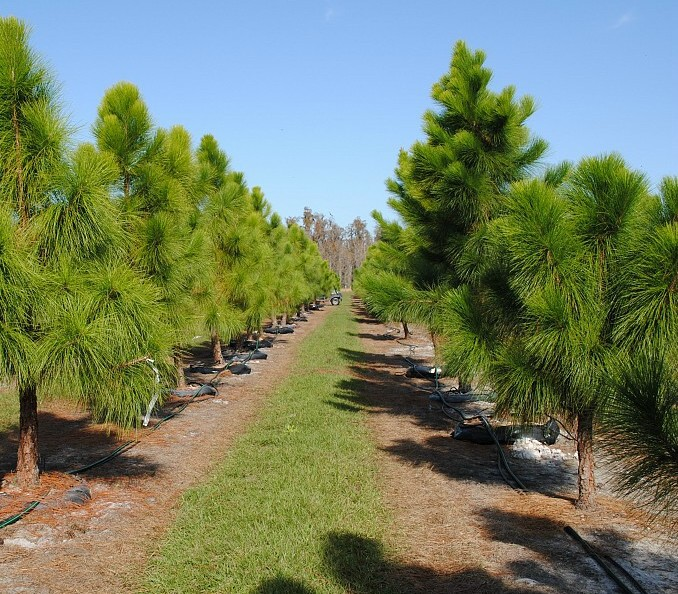 купить семена сосны эллиота elliottii seeds pine