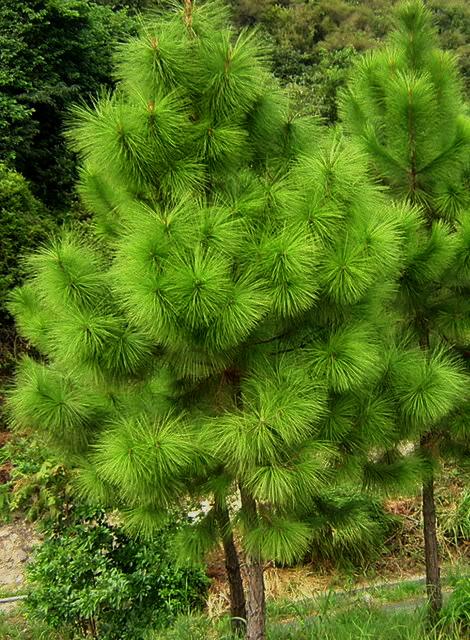 купить семена сосны болотистой эллиота elliottii seeds slash pine продажа саженцев