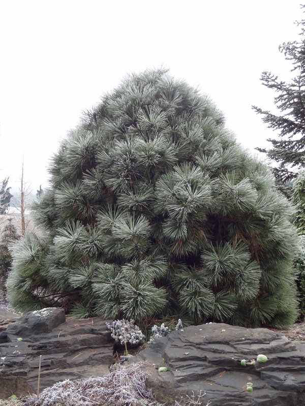 купить семена сосны джеффри jeffreyi seeds pine