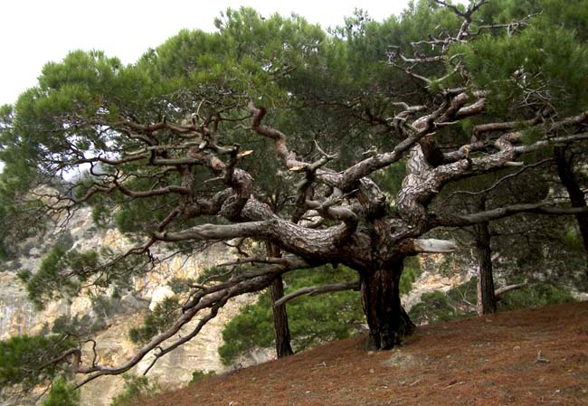 семена сосны крымской pallasiana pine seeds price