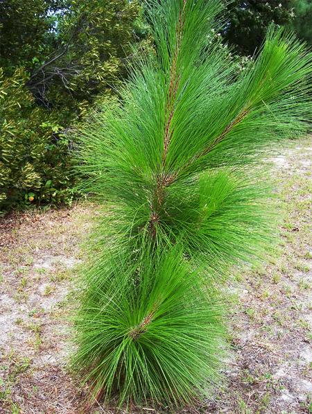 Сосна болотная семена розница и опт