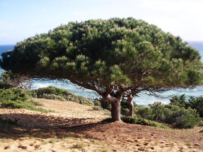 семена сосны пинии italian pine seeds pine саженцы пиния продажа