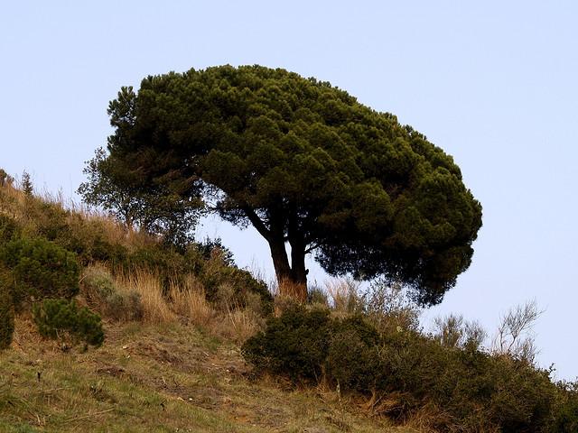 купить семена сосны итальянской пинии pinus pinea seeds pine саженцы пиния продажа