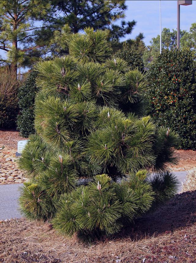 купить семена сосны тунберга thunbergii seeds japanese pine