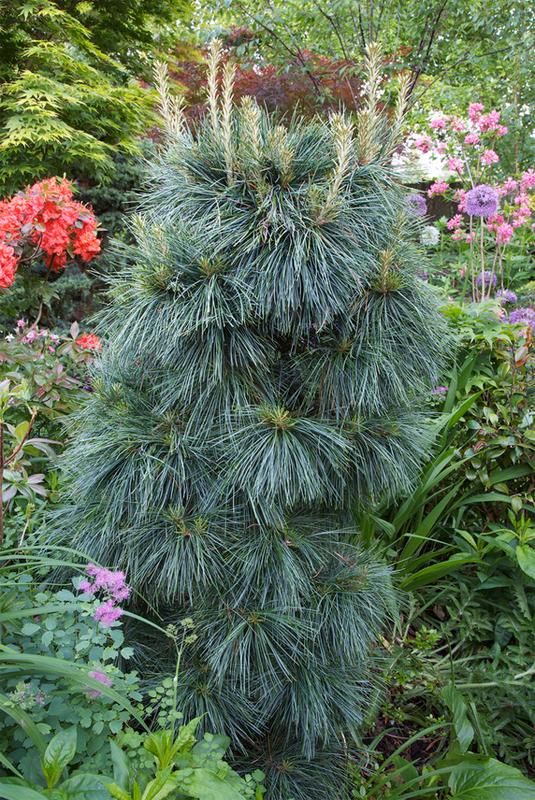 купить семена сосны валлиха уоллича гималайская бутанская wallichiana seeds pine