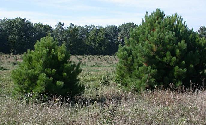 семена деревьев pinus resinosa red pine семена сосны цена seedling