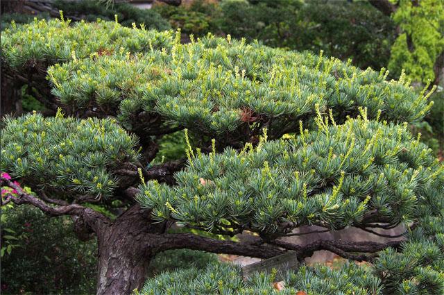 купить семена сосны белой японской wite japan pine seeds