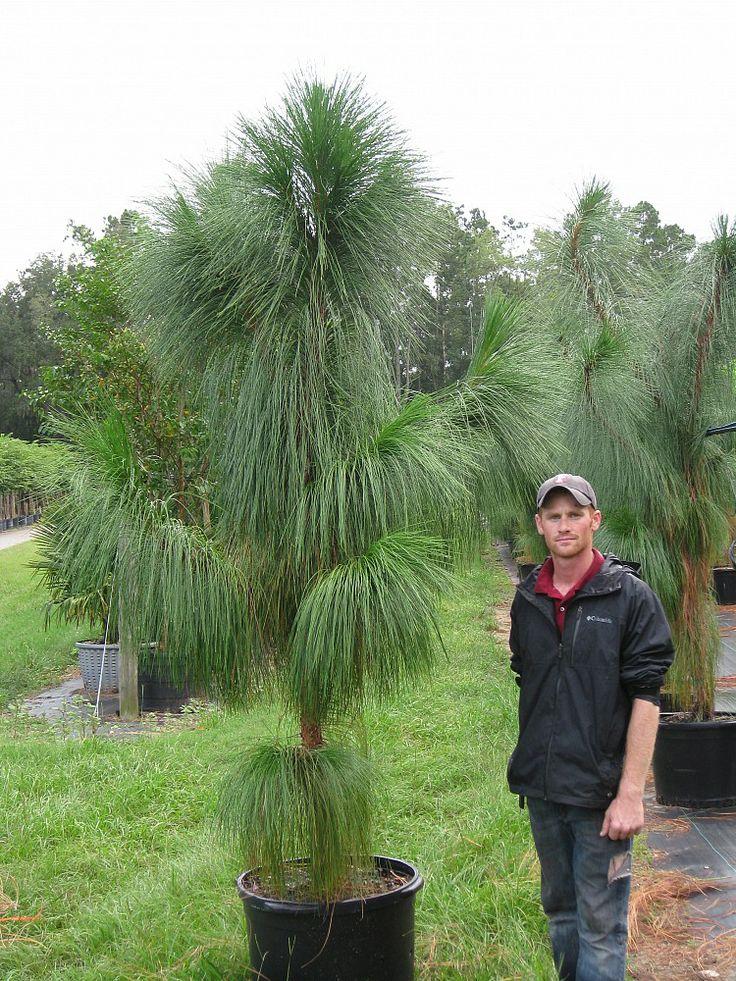 семена деревьев palustris pine pinus семена сосны цена