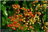 купить семена фисташки туполистной Pistacia atlantica seeds
