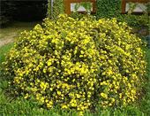 продам семена лапчатка гигантская potentilla gigantea seeds в питомнике Сидландия