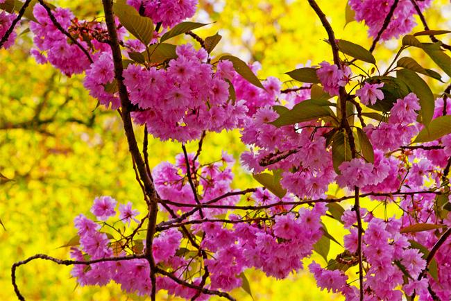 продам семена сакуры японской prunus serrulata заказать семена с доставкой на дом и пересылкой по всему миру
