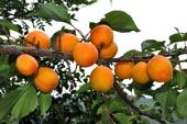 продам семена абрикос маньчжурский Prunus mandschurica seeds закупка семян оптом